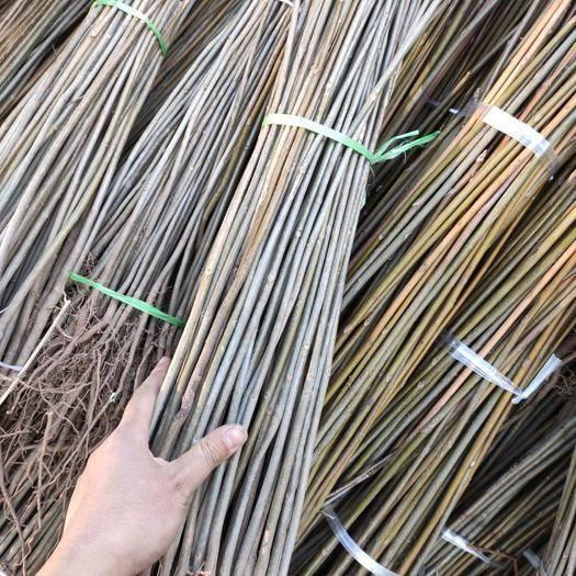 泰安泰山区 红油香椿苗,现挖现发货,成活率更高,免费提供种植技术指导