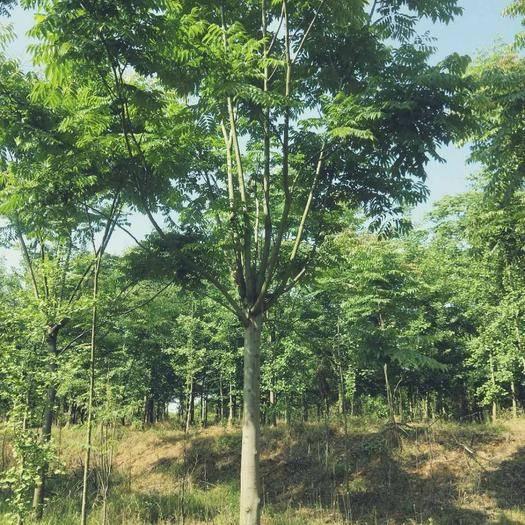 咸寧 基地供應5一20公分粗欒樹園林綠化、行道樹。