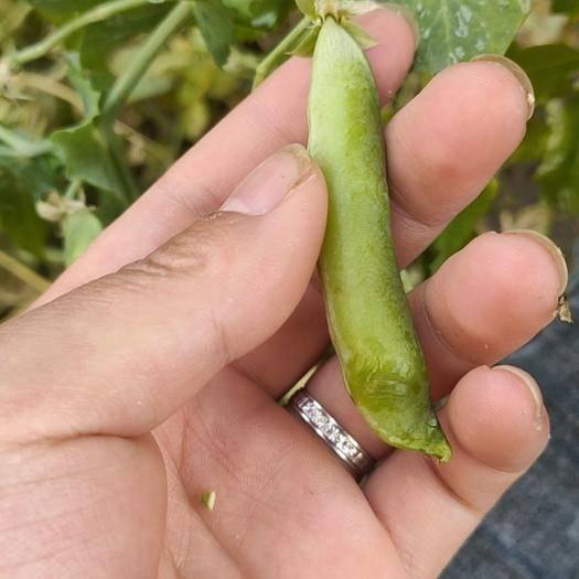 仁壽縣青豌豆