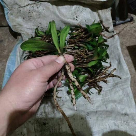 广州君子兰种子 鞍山君子兰小苗,圆头宽短叶,2-3叶,基地直销