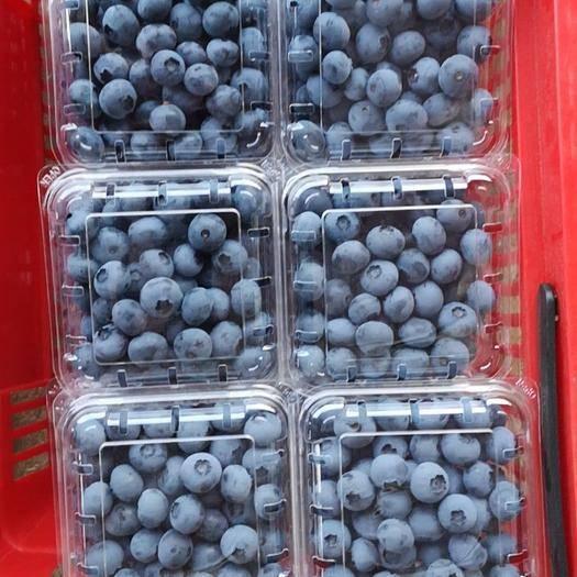 大連莊河市 藍莓鮮果 莊河