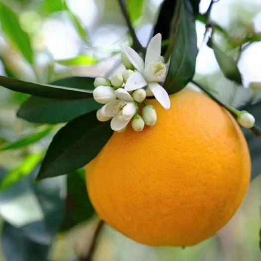 恩施土巴东县伦晚脐橙 春橙伦晚    果园看货选购