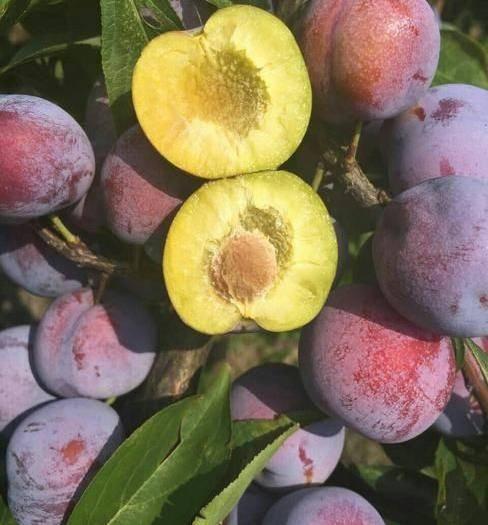 苍溪县 四川脱骨脆红李,晚熟李子,应季新鲜水果现摘现发。