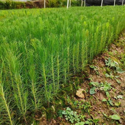 荔浦市湿地松树苗 供应20万优质湿地松杯苗