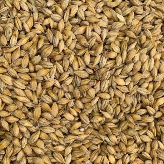 鄭州中牟縣 大麥 鴿子糧 釀酒釀醋用大麥 加拿大毛散大麥