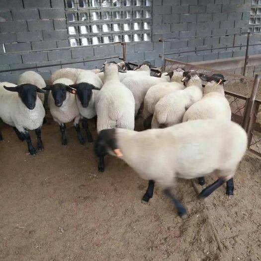 济宁嘉祥县 西门塔尔牛是我国的肉牛首选之一
