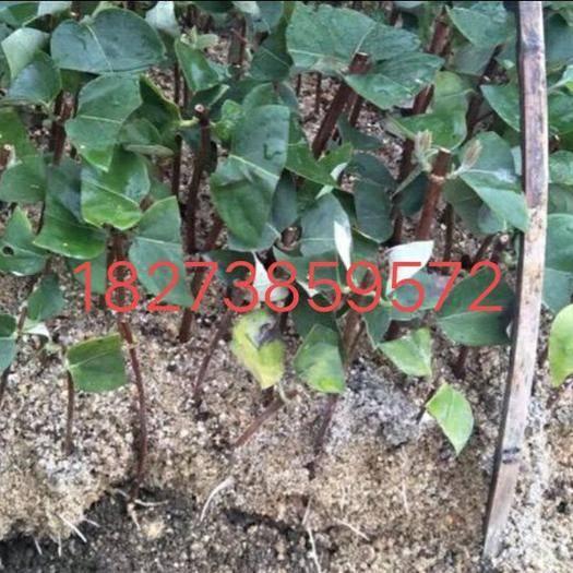 怀化溆浦县湘蕾金银花苗 产地直销自繁湘蕾五号良种金银花扦插苗