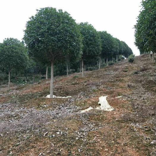 咸寧 桂花樹基地直供8一50公分各種規格!工程綠化、庭院美化首選!