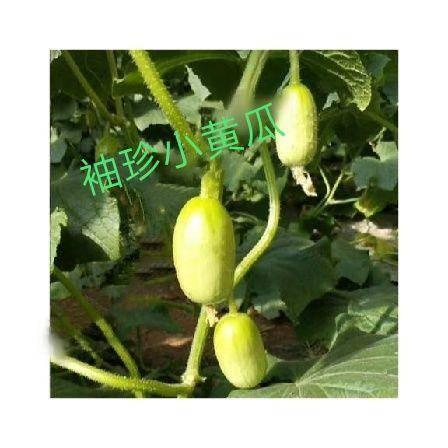 寿光市 QQ迷你袖珍小黄瓜种子水果小青瓜 拇指瓜黄瓜蔬菜庭院 清甜