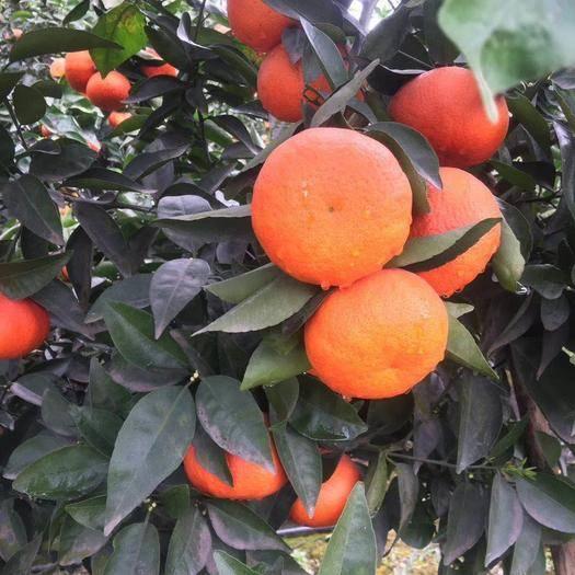 眉山彭山区不知火 丑柑,沃柑,沙斯塔金,三个品种,有需要的联系。