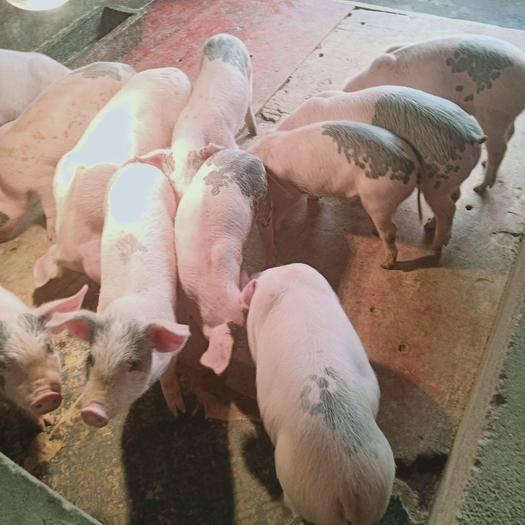徐州新沂市 常太二元母猪