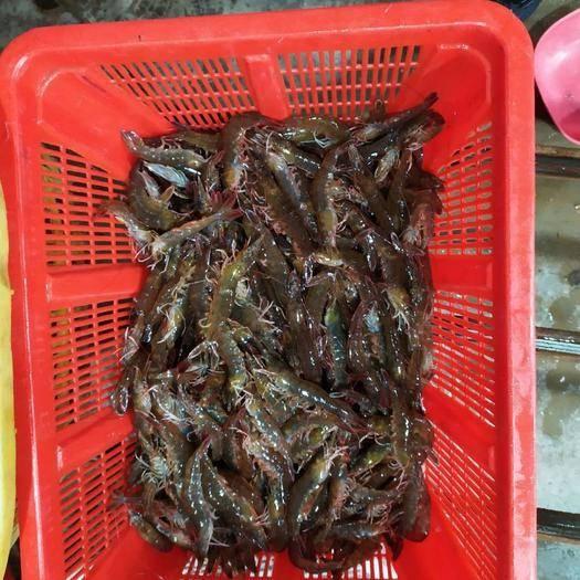 北海 广西北海对虾,基围虾,南美白对虾