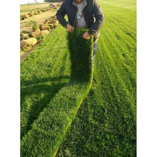无锡惠山区早熟禾种子 草地早熟禾、早熟禾、六月禾、肯塔基,禾本科,多年生草本植物草