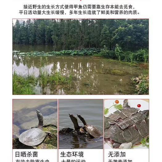揭阳揭西县外塘甲鱼 刚上的一批花甲