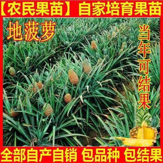 钦州灵山县 现货地菠萝苗凤梨苗盆栽果树苗四季种植苗南方北方种植果苗
