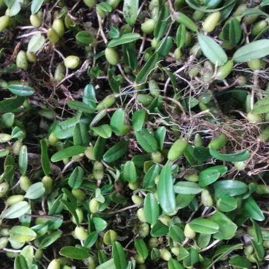 南寧青秀區 石橄欖