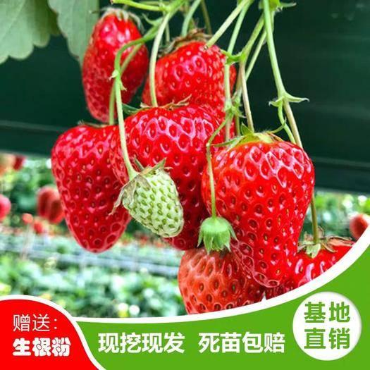 平邑县 草莓苗牛奶个大饱满口感好成*率高