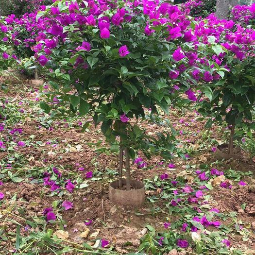 宜宾翠屏区云南紫三角梅苗 出售三角梅各种各样的规格,有红色,有紫色