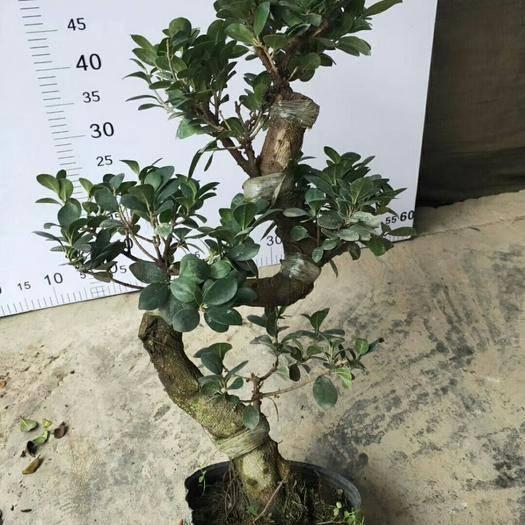 昆明呈贡区 造型榕树盆栽
