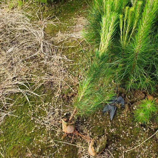郴州湿地松树苗 湿地松树小苗,大量供应