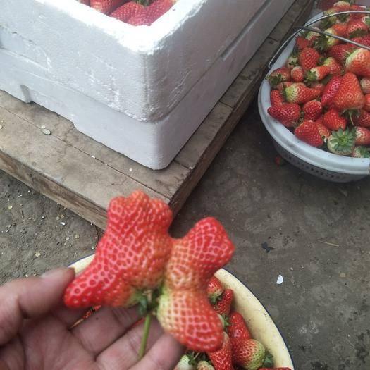 沭陽縣 江蘇沭陽茆圩草莓基地