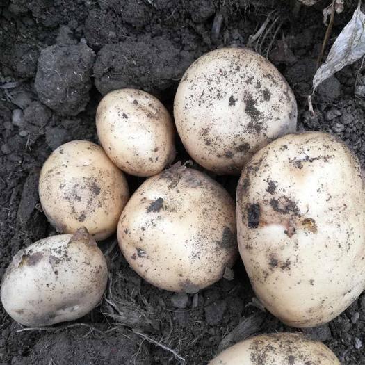 城固縣 土豆(預售)