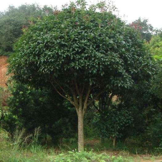 瀘州八月桂