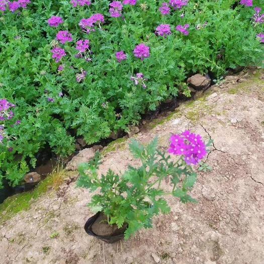 青州市 安徽湖北湖南細葉美女櫻營養杯苗價格多少