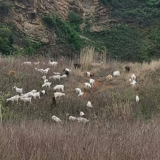 无锡江阴市 羊