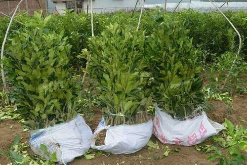 灵山县红心柚苗 正宗 柚子树苗 嫁接树苗 带营养杯 红肉柚子包成活包结果。