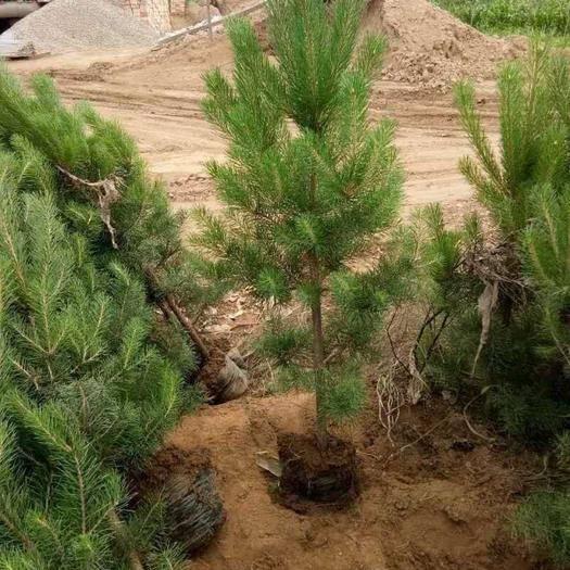 定西陇西县旱地油松 0.5~1米