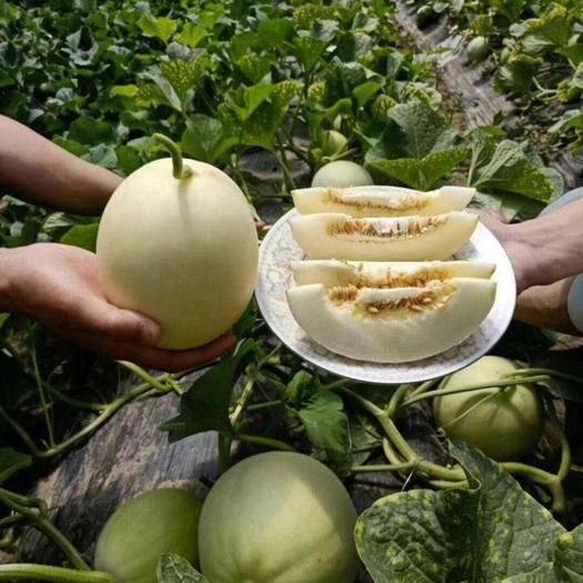 西安 閻良甜瓜白皮小籽農家香瓜現摘現發新鮮水果10斤裝批發包郵