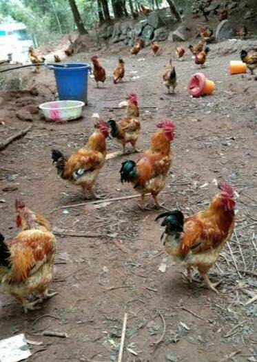 中江縣 農養跑山土雞純天然養時間長達12月