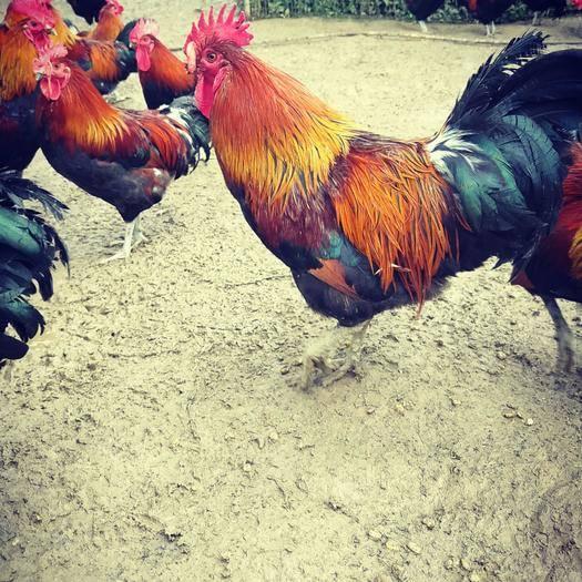 毕节金沙县 老鸡