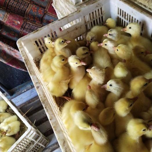 吉安新干县 各大种鹅苗销售,反季三花鹅苗江西定点销售。大鹅回收。