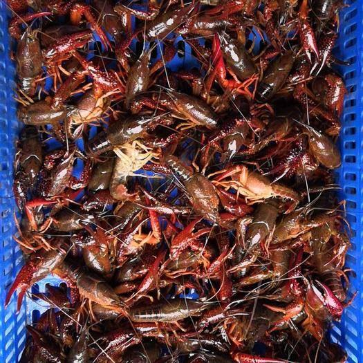 潜江潜江市 【潜江红虾】清水养殖鲜活小龙虾全年供应全国发货
