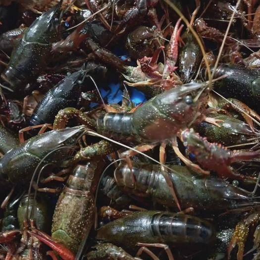 兴化市 江苏青壳小龙虾2345678910钱大量供应产地直发小龙虾