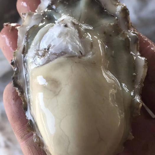 青島 生蠔牡蠣紅島特產