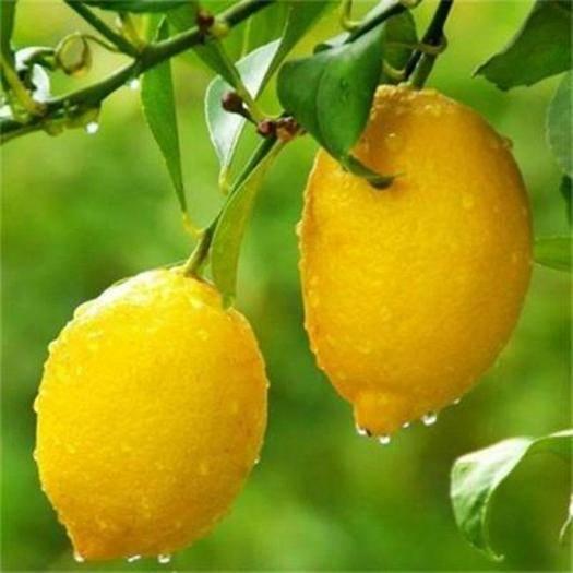 灵山县 耐寒耐旱香水柠檬苗盆栽阳台室内外种植果树苗