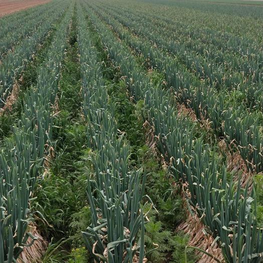 濰坊 惠和成桶的蔥種種的大蔥白高45-55厘米,1萬斤起批