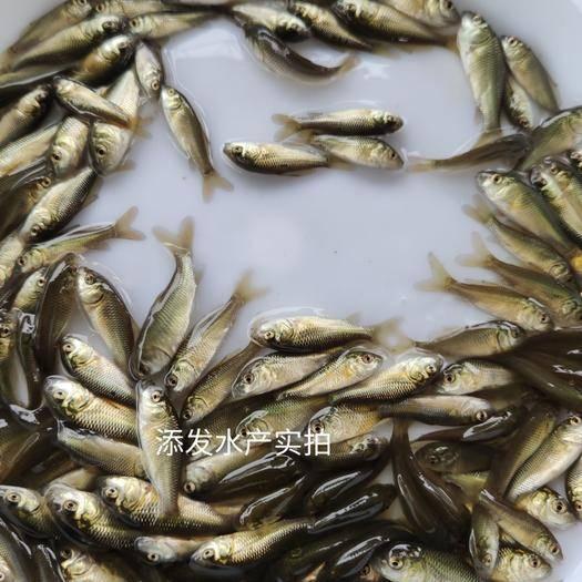 广州 大量批发优质鲤鱼苗,鲤鱼苗寸苗