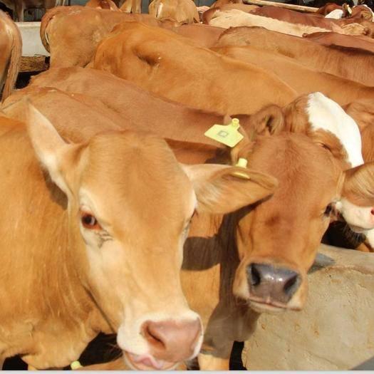 鄆城縣 2020自己養殖才是最好的出路,打工沒出路,各品種優良肉牛
