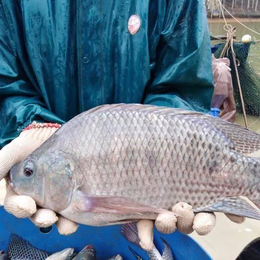 茂名高州市 广东优质罗非鱼,养殖户直销,各种规格。