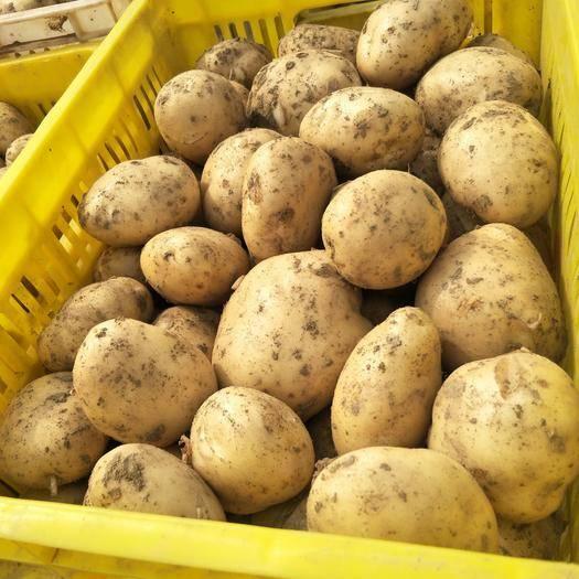 城固縣 新鮮土豆預售