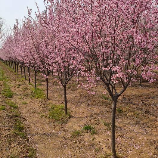 泰安 基地出售美人梅 地徑4-6公分 7-10公分 綠化工程專用