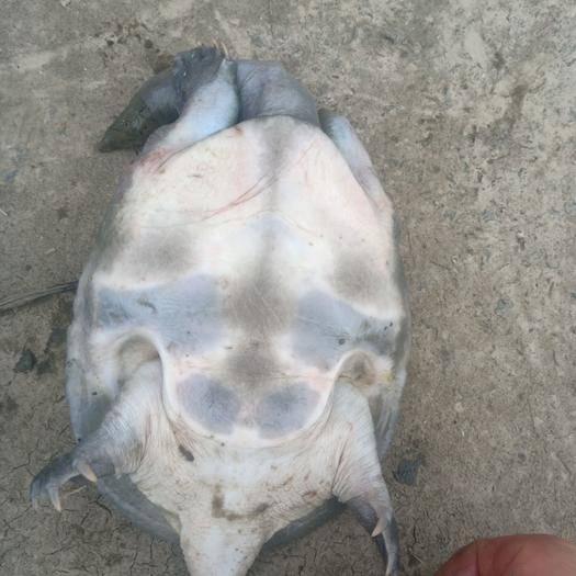 湖州德清县 全生态甲鱼,三年以上,需要的联系