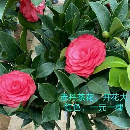 廣州 茶花苗混批套餐,赤丹,烈香,可以混批兩個品種,不包郵