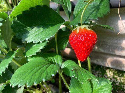 宿州 草莓苗多重草莓苗专业蔬菜大棚育苗欢迎采购量大从优