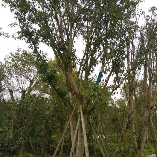 重慶 黃角樹(大葉榕)大小規格都有滿足客戶需求,具體價格按客戶要求