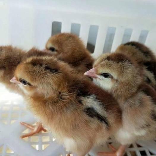 南宁 土鸡苗,土鸡,禽场直销 品种优良 正品,包打好疫苗,量大从